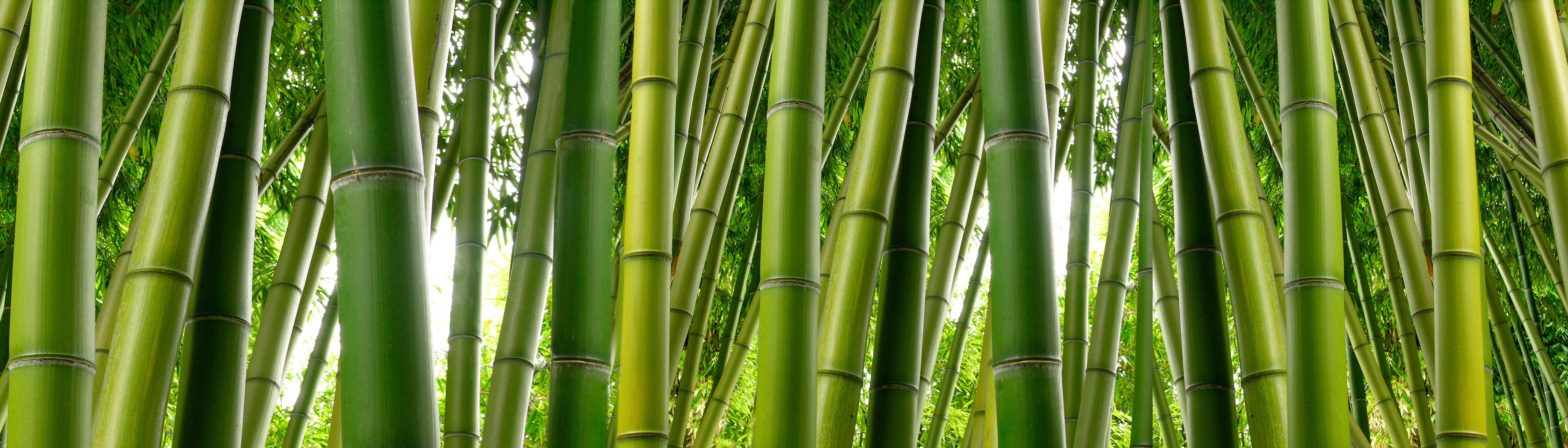 Tall stalks of green bamboo dense in a jungle setting.